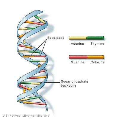 Image of DNA structure and base pairs